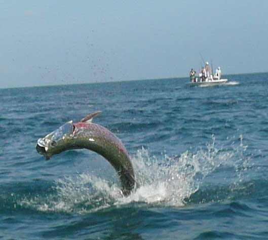 Tarpon fishing charter florida tarpon fishing charters for Florida tarpon fishing